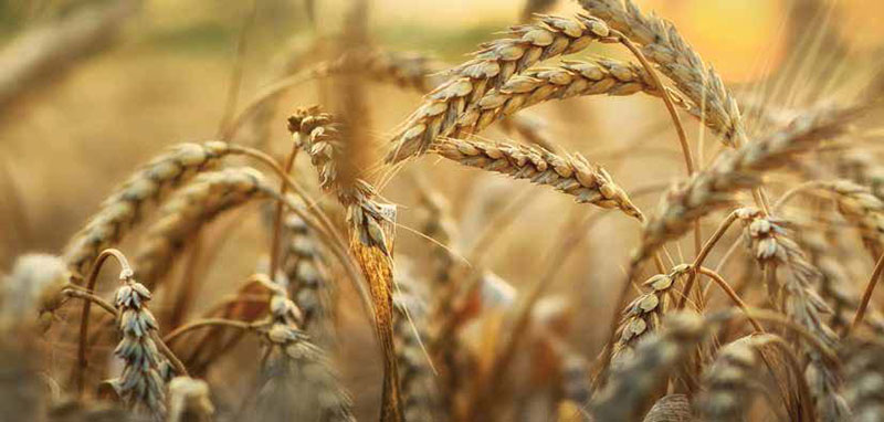 Wheat and grain research funding to secure Australia's future