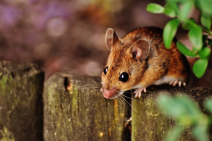 $50 million support package to help regional communities combat mice plague
